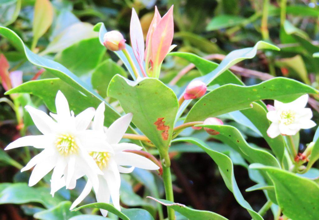しきみ(樒)の花