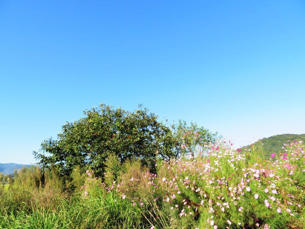 コスモスと栗の木
