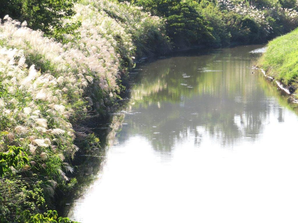 川辺のすすき