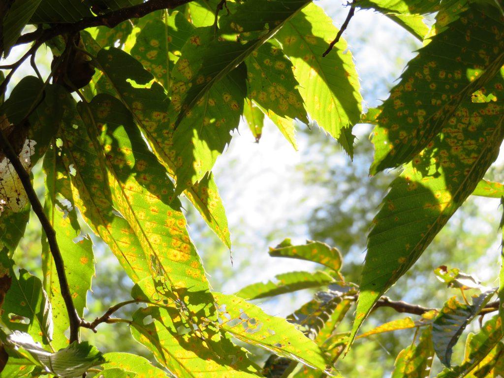 栗の木紅葉