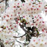 秋に桜「見事に咲き見事に散る」ブレイブブロッサムズ (nya.1090)