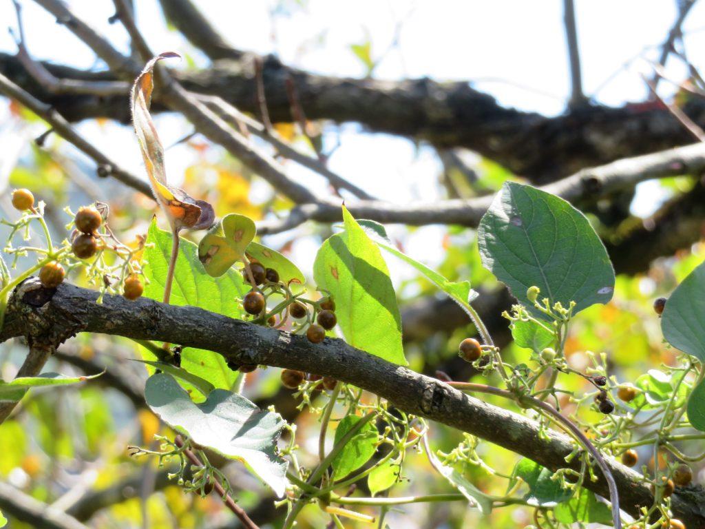 蔦と柿の木