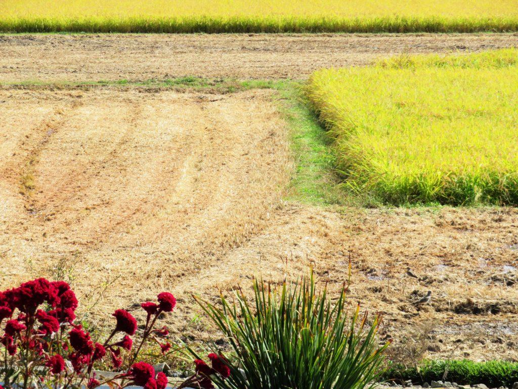 家の前の田んぼ