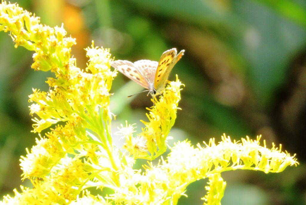 紅シジミ蝶とセイタカアワダチソウ
