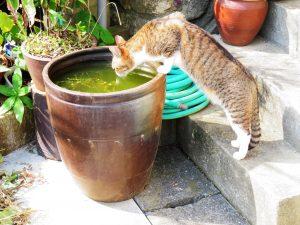 ねこ、風太 水飲み