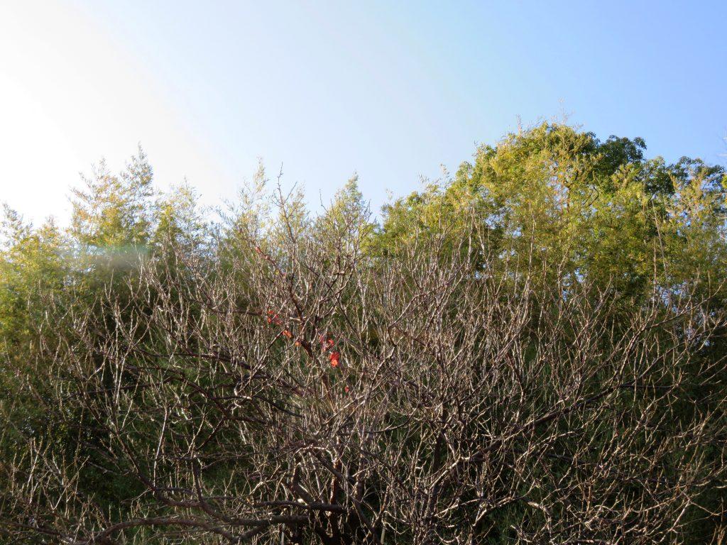葉を落とした梅の木