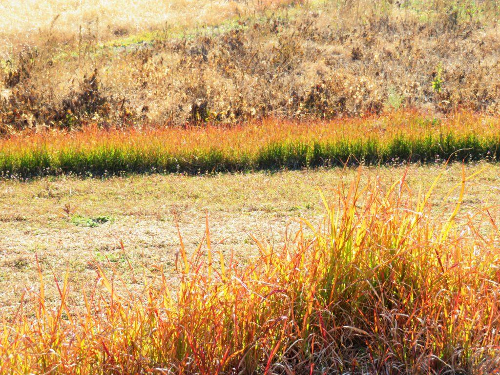 草紅葉と大豆畑