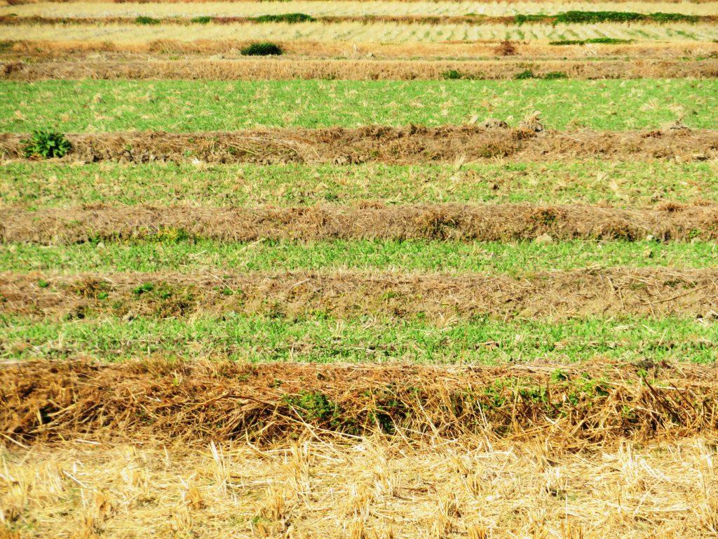 冬の麦の田んぼ