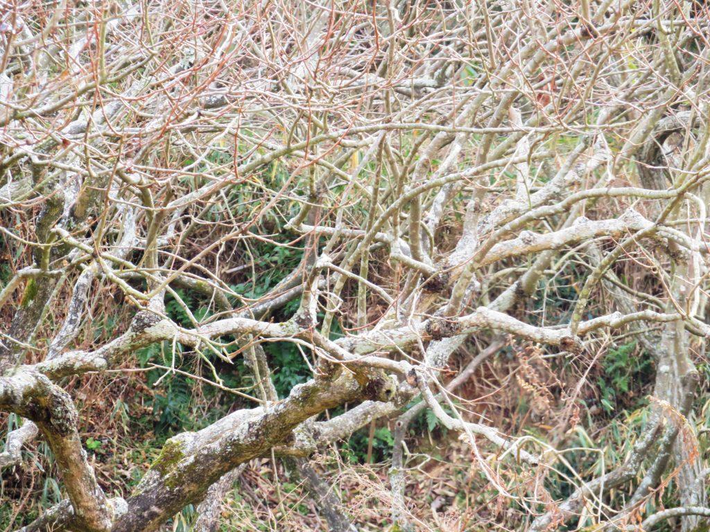冬の柿の木