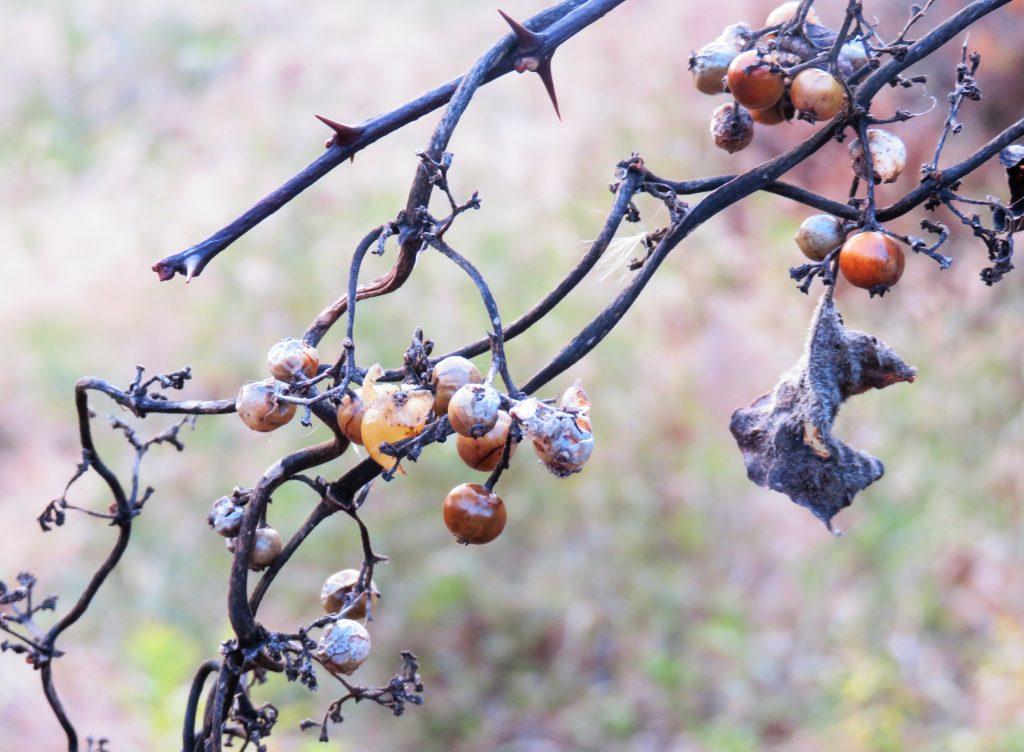 山葡萄の実