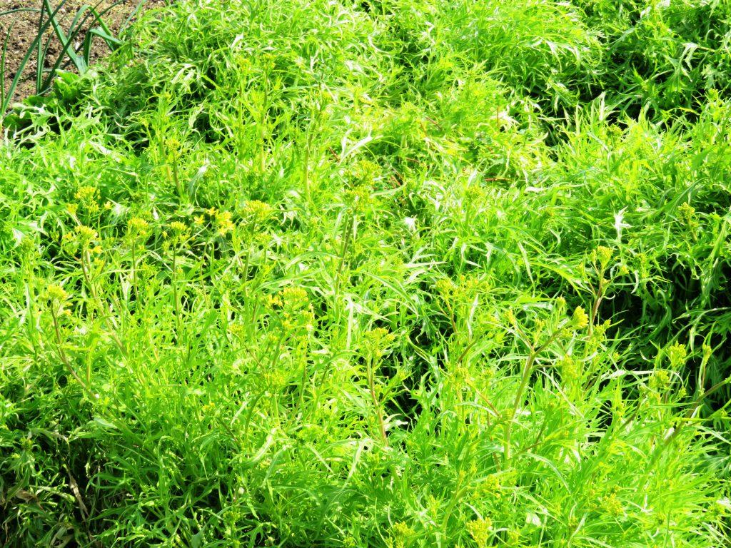 水菜の菜の花