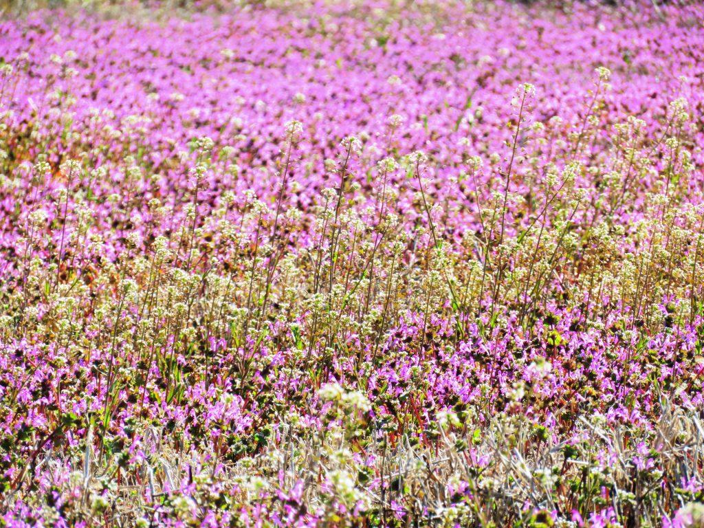 春の休耕田