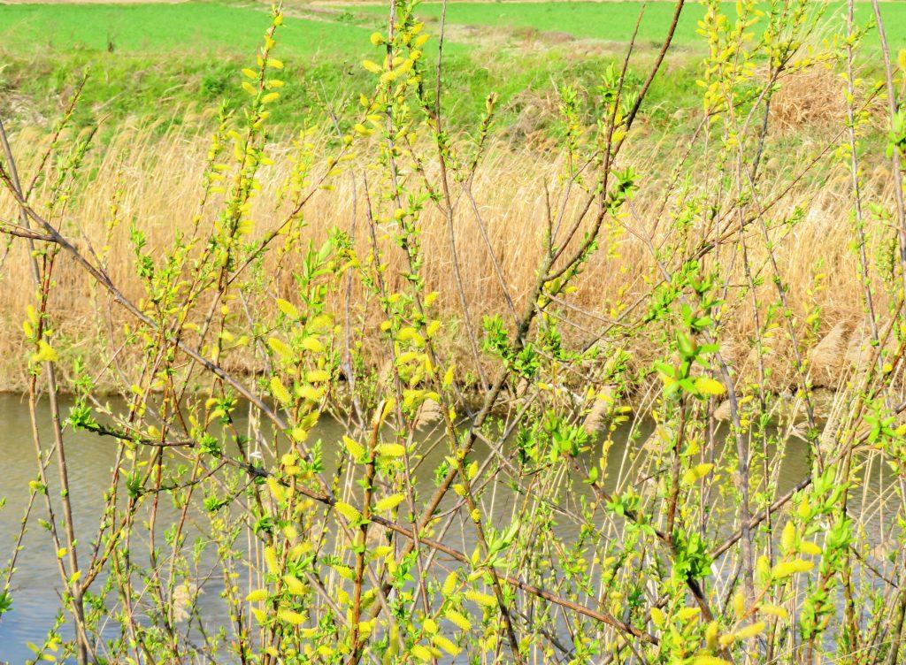 河原ヤナギの花