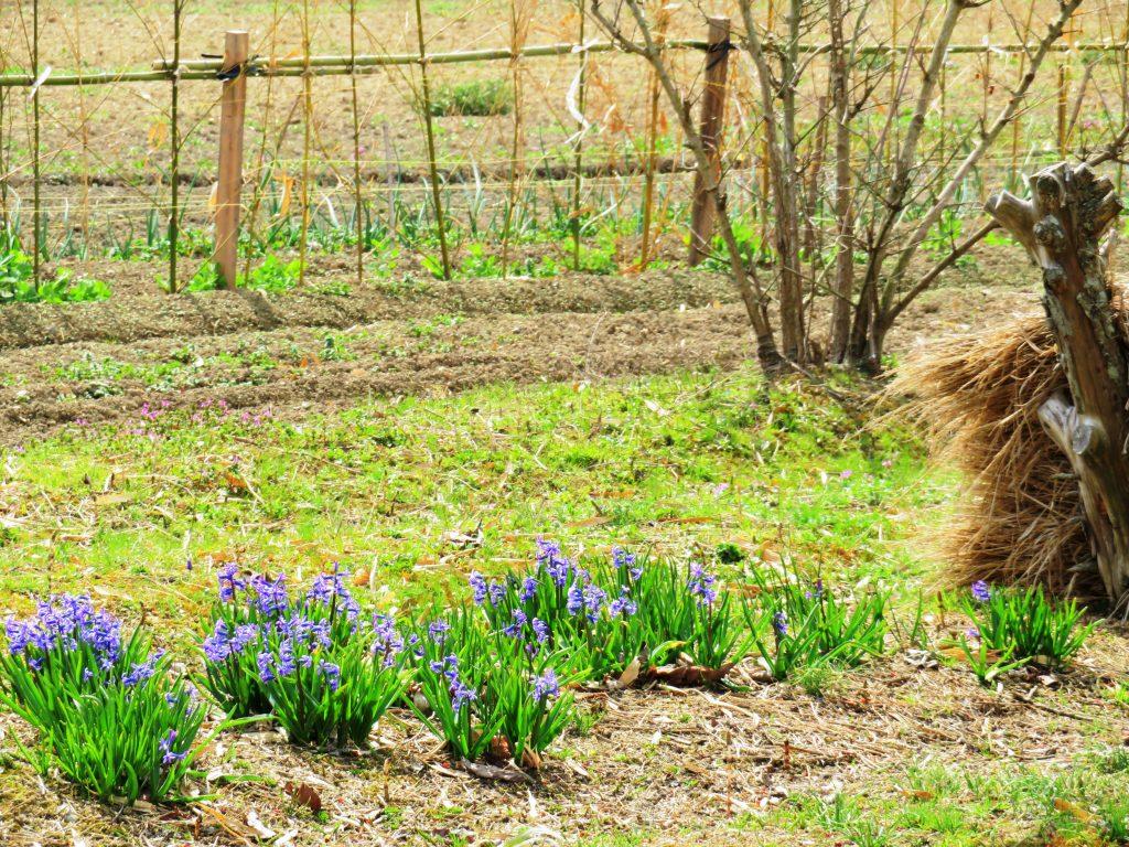 ヒヤシンスと春の畑