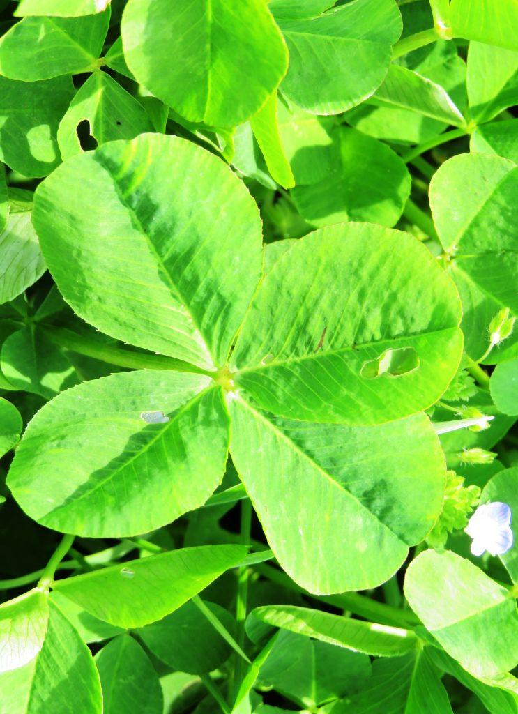 四つ葉のクローバー
