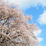 「探し物は何ですか♪」と歌った桜散歩(nya.1258)