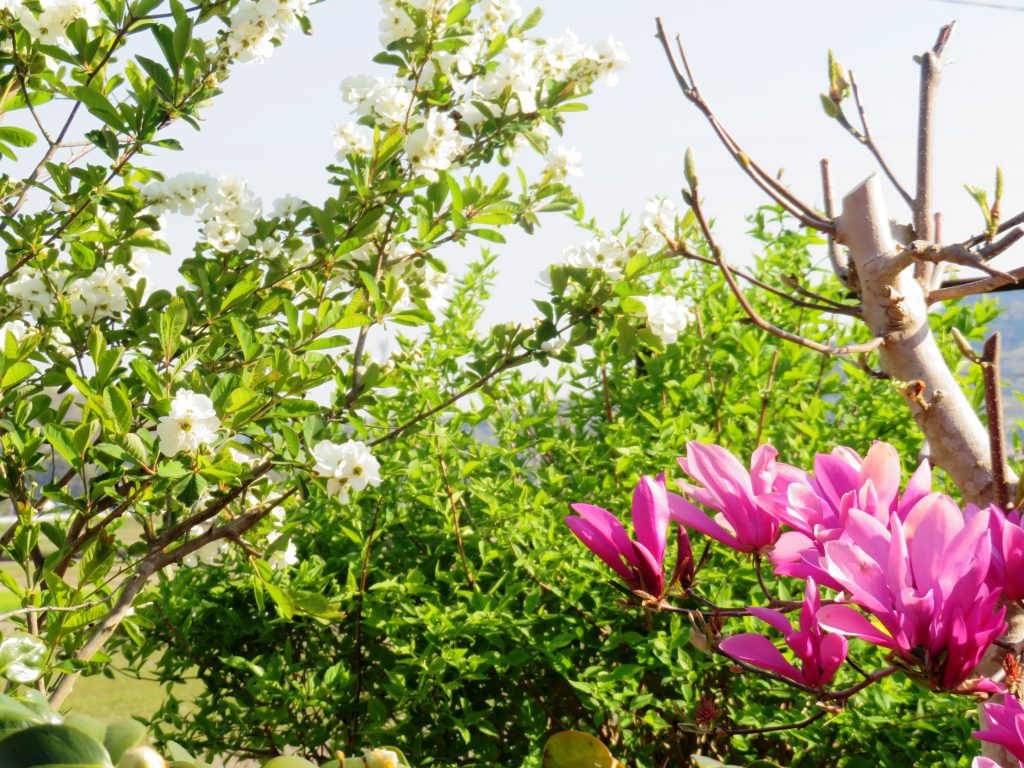 木蓮と琉球梅