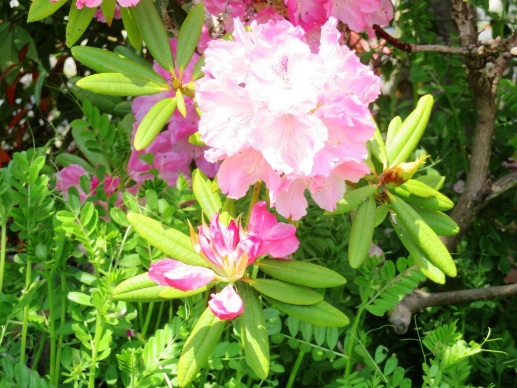 シャクナゲ (石楠花)