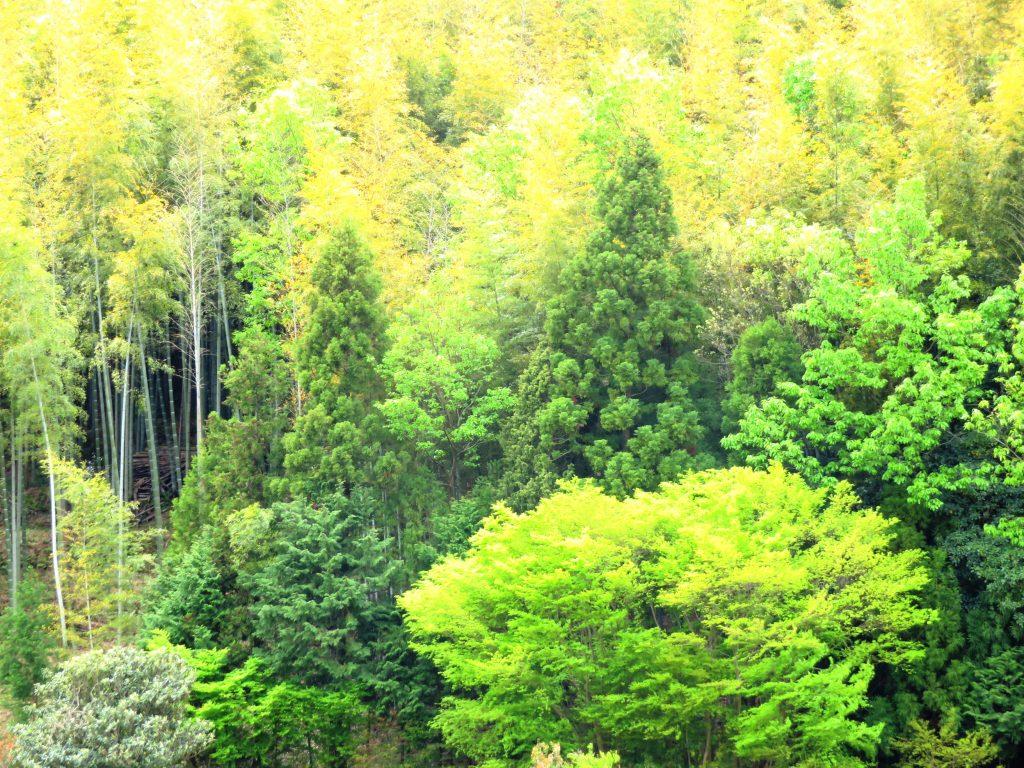 新緑の紅葉と竹の秋