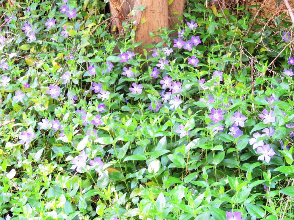 ツルニチニチソウ(蔓日々草)