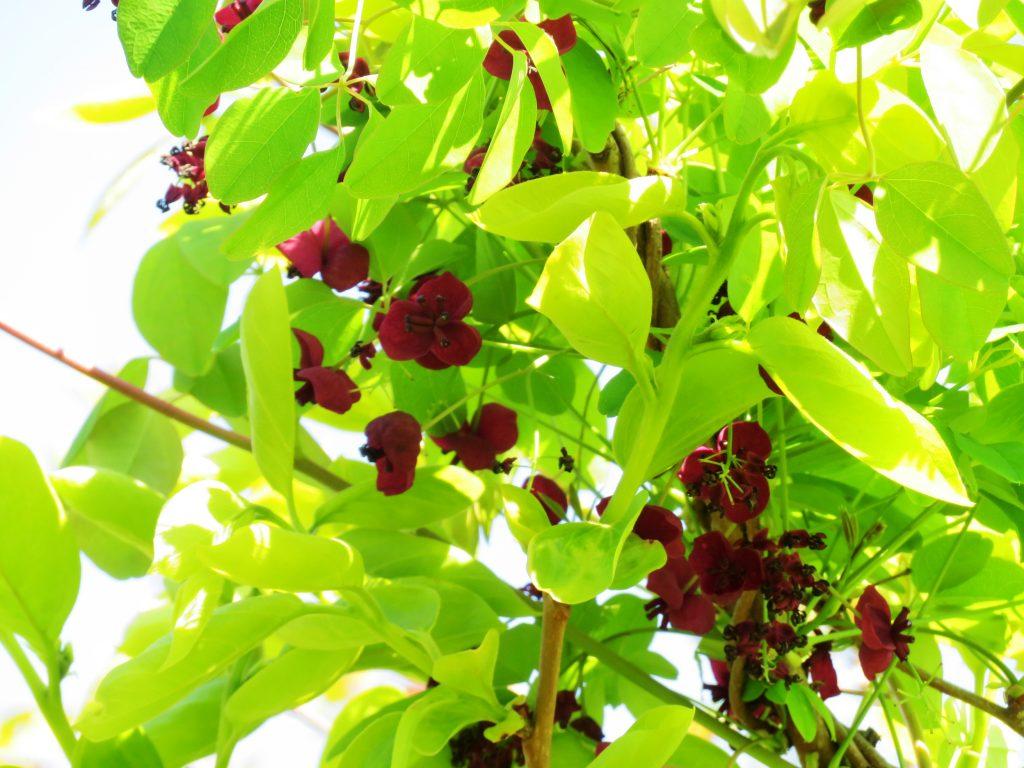 アケビ(木通)の花
