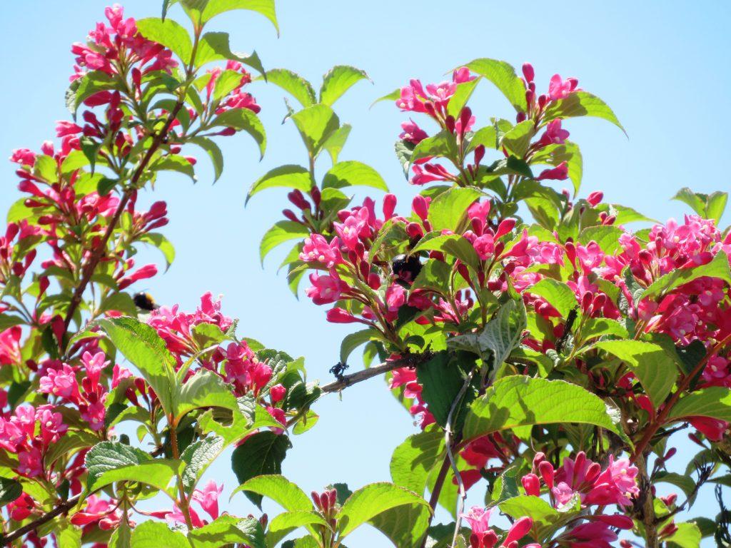 ベニウツギ(紅空木)