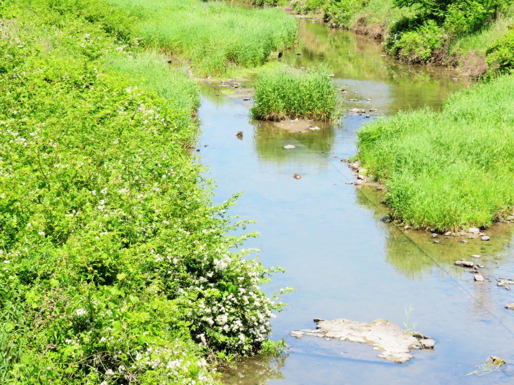 初夏の川辺と野茨