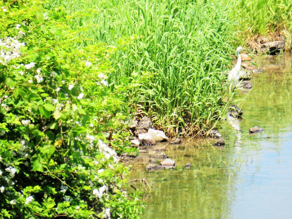 初夏の川辺とシラサギ
