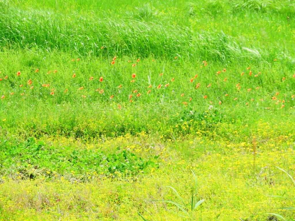 ナガミヒナゲシ(長実雛芥子)