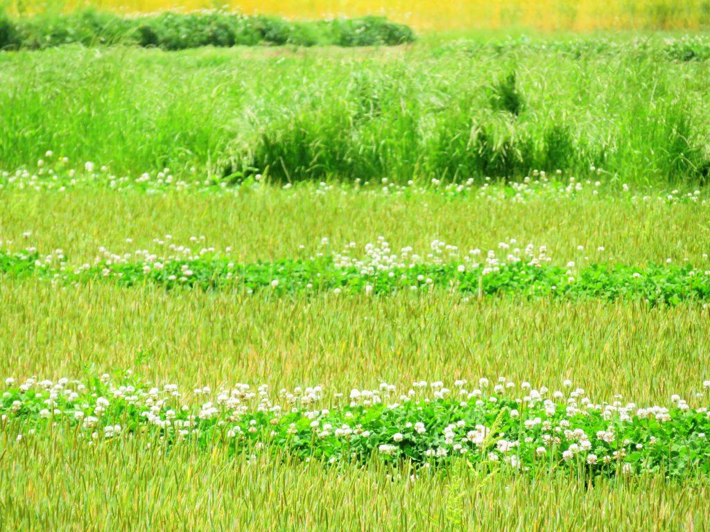 5月の田んぼ