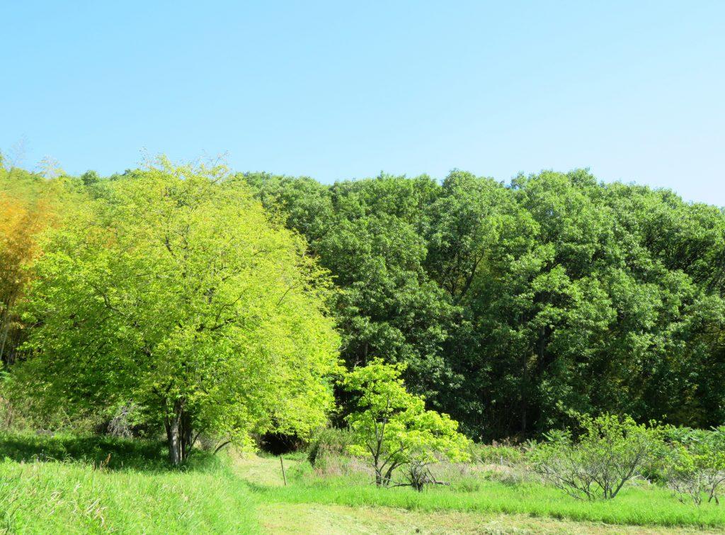 新緑の柿の木