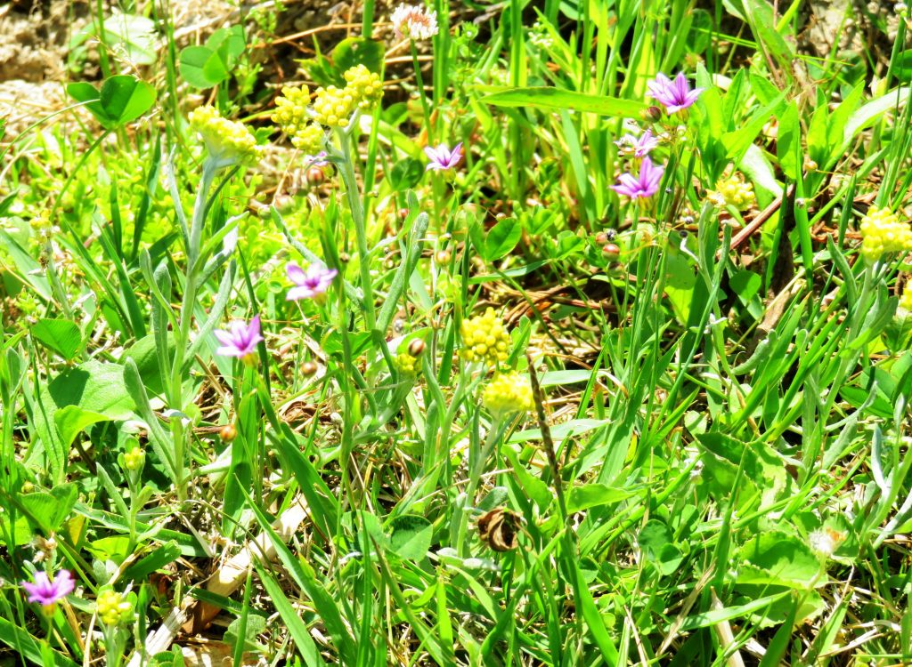ニワゼキショウ(庭石菖)とハハコグサ(母子草)