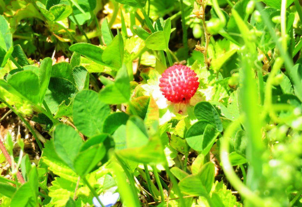 ヘビイチゴ(蛇苺)