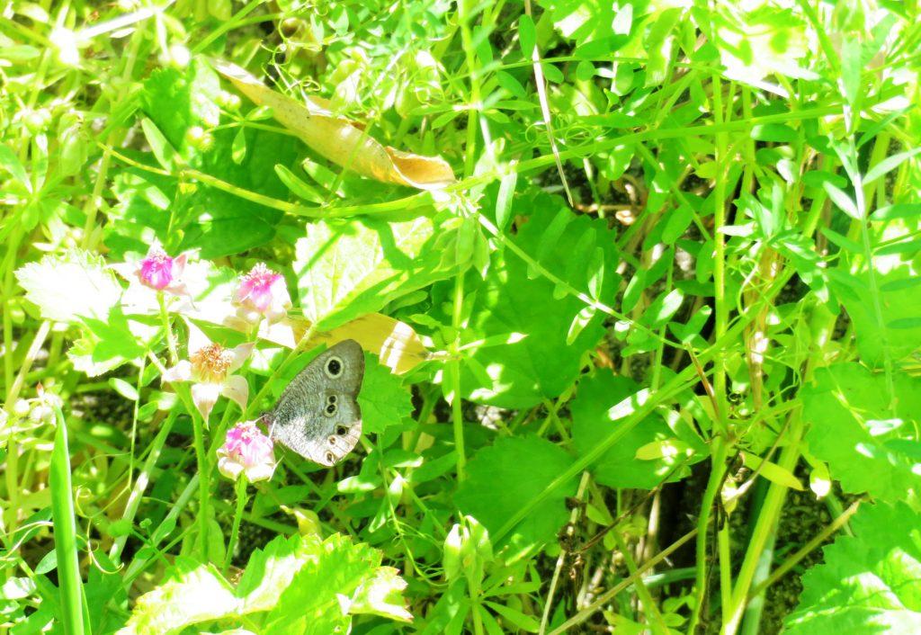 ナワシロイチゴの花とヒメジャノメ蝶