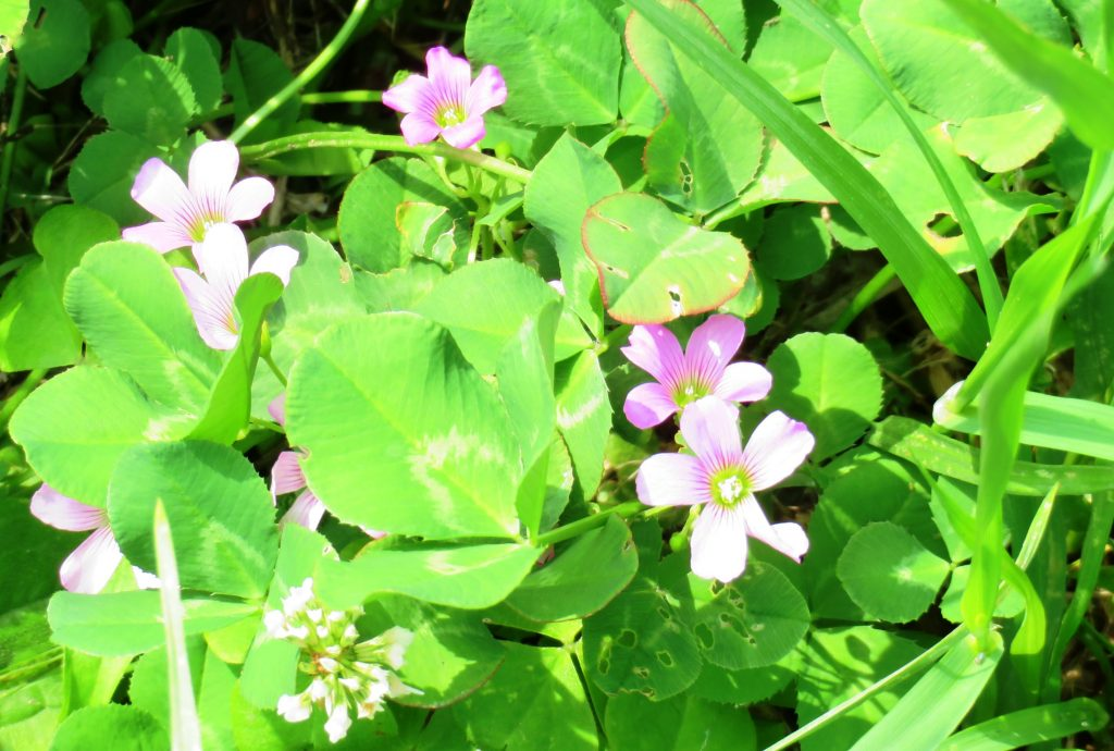 ムラサキカタバミ(紫片喰)