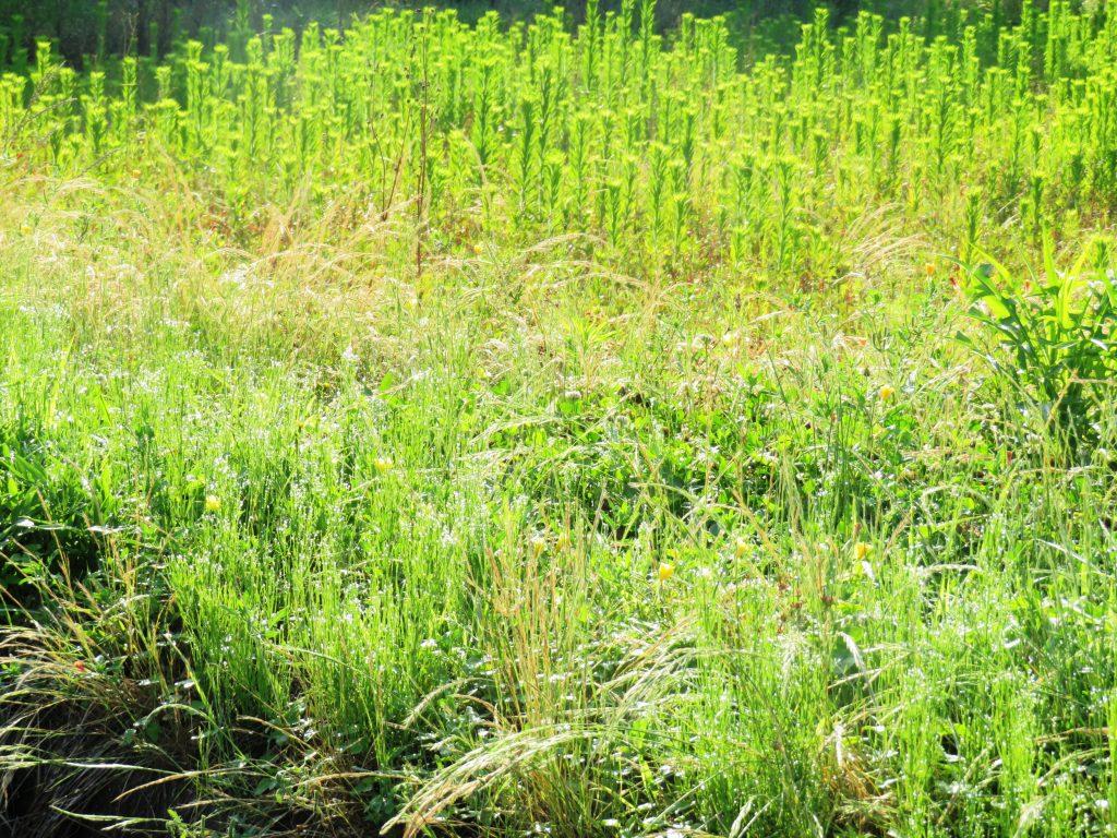 夏至の朝の草原