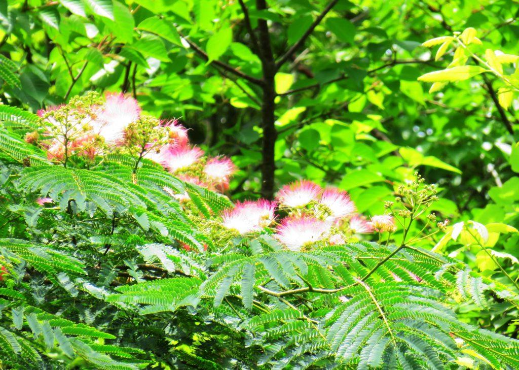 合歓木(ネムノキ)の花