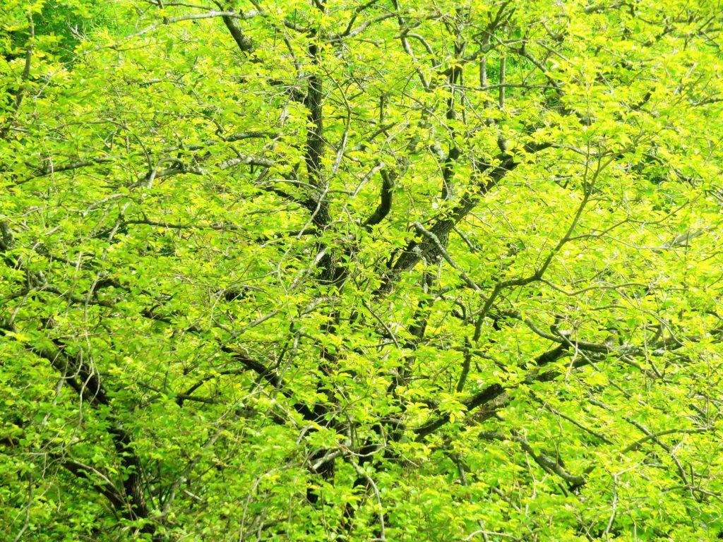 夏の柿の木