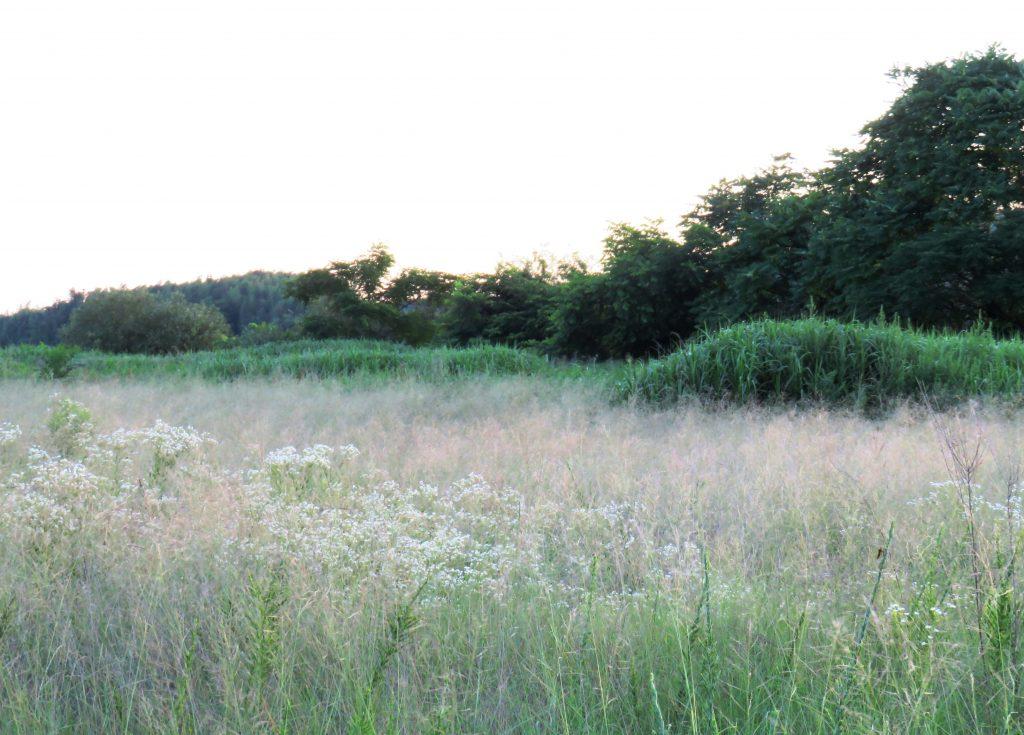 夏のヒメジョオン夕景