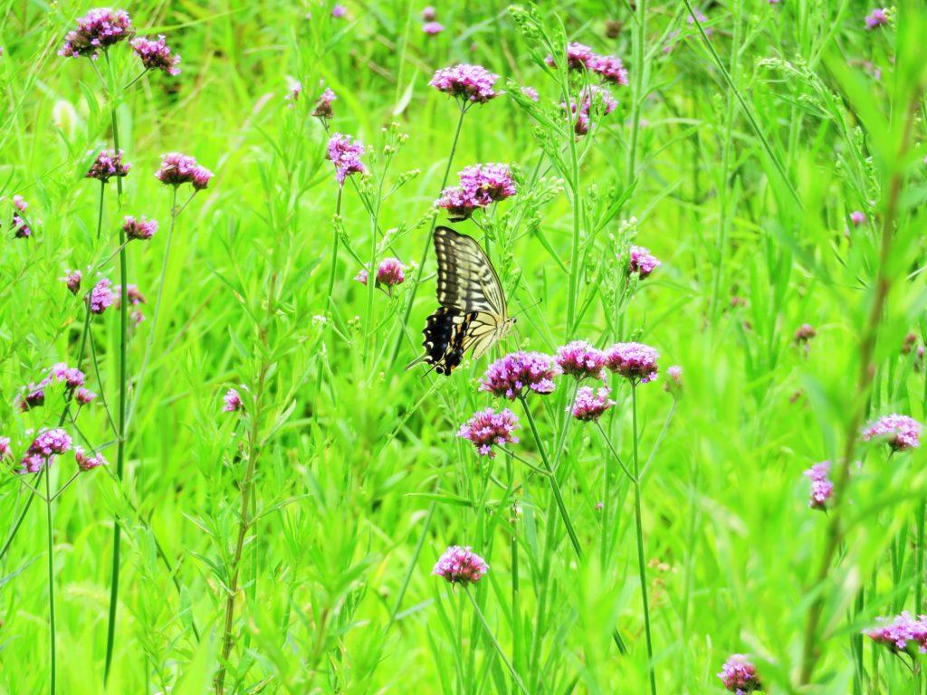 アゲハ蝶とヤナギハナカサ
