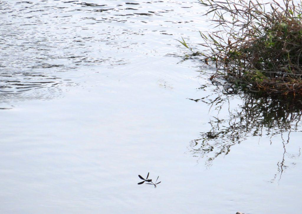 夏の川と神さまトンボ