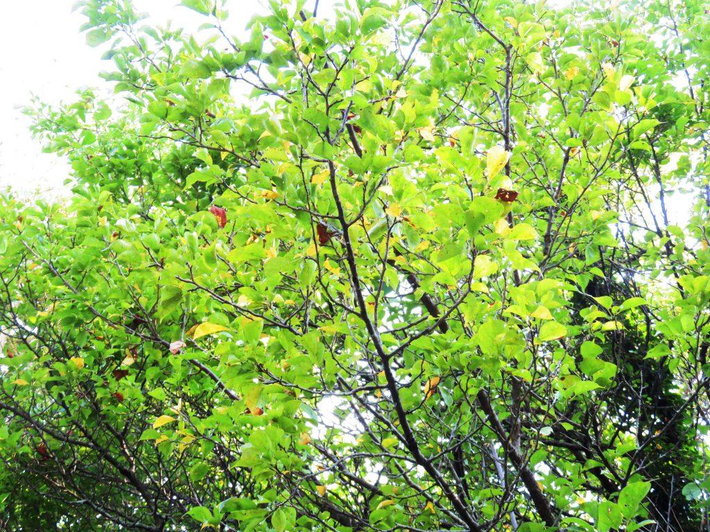 梅の木の黄葉