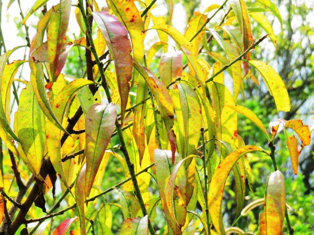 桃の木の黄葉