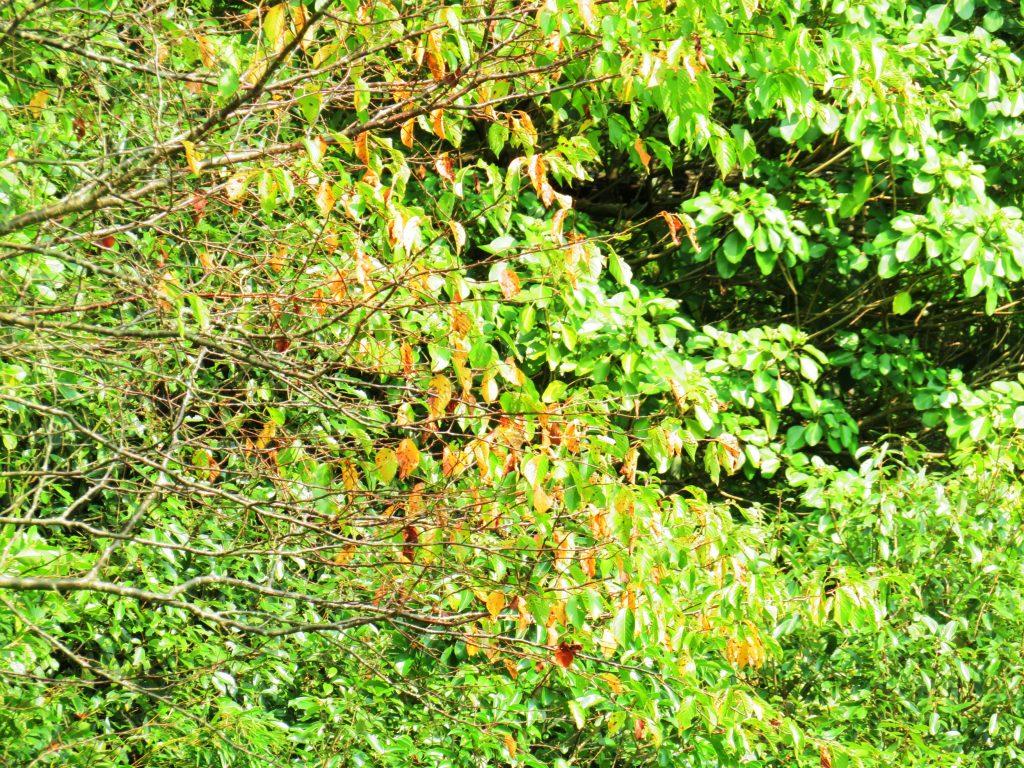 桜の木の黄葉