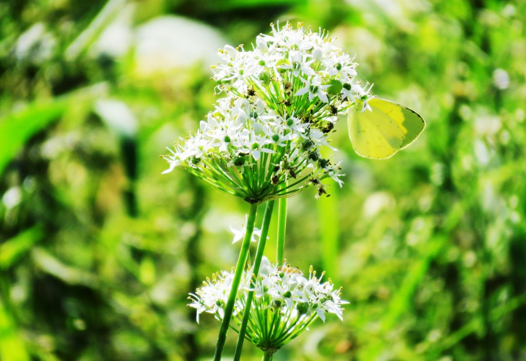 ニラの花とモンキチョウ(紋黄蝶)