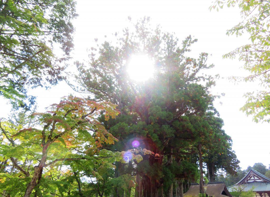 高野山 杉