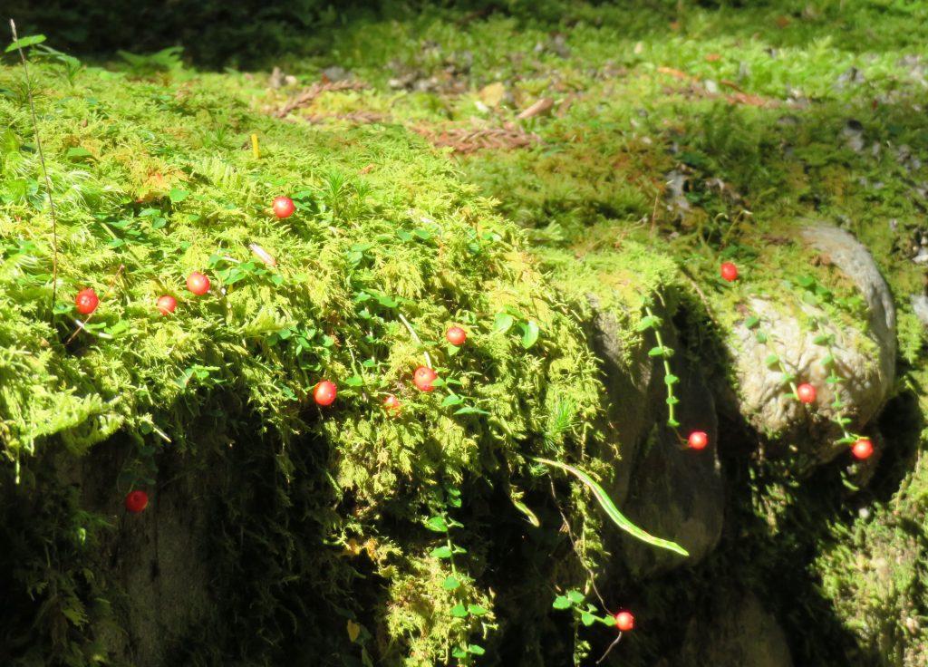 高野山 奥の院参道 ツルアリドオシ(蔓蟻通し)の実