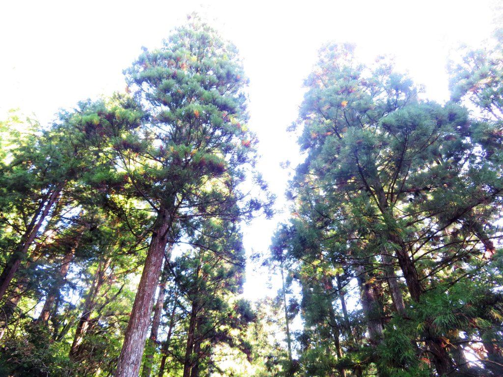 高野山 奥の院参道 杉