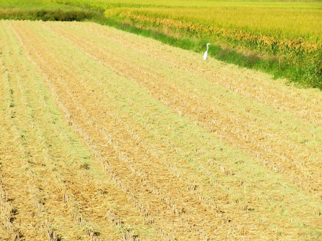 刈り取り直後の田んぼ