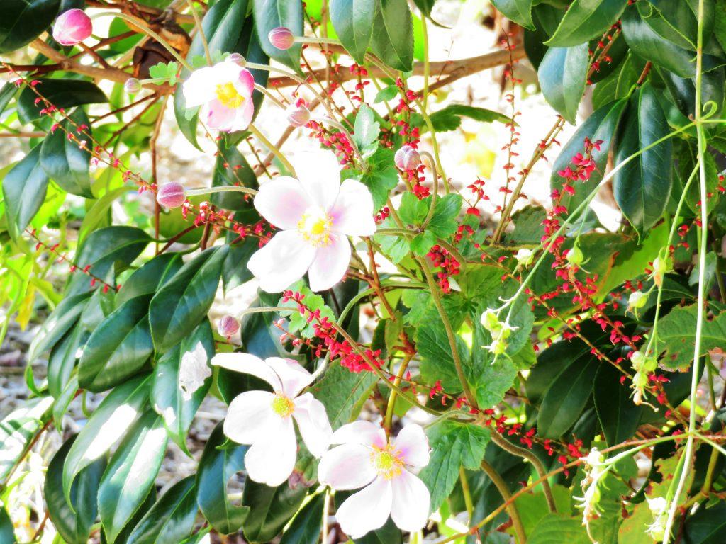 シュウメイギク(秋明菊)と水引草